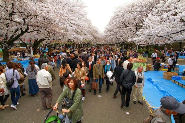 Cigliegi in fiore, Giappone