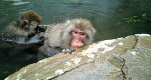 parco delle scimmie Jigokudani, Giappone