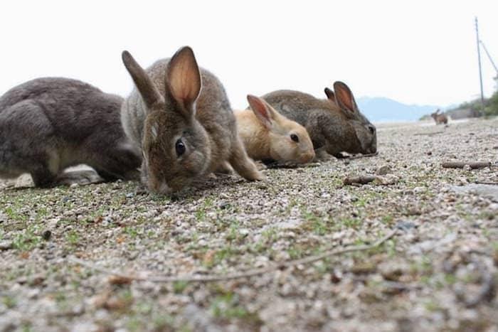 I conigli di okunoshima